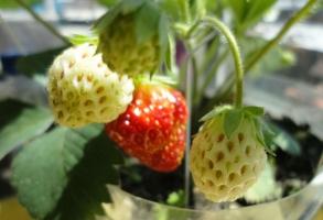 草莓种子的种植方法:播种前先喷透水,喷透育苗基质