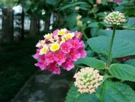 如意花的养殖方法:喜温暖湿润、阳光充足的环境