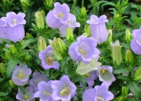 风铃草的养殖方法:栽种环境需要全阳