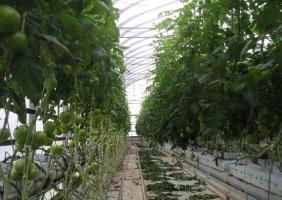 番茄怎样无土栽培:番茄的无土栽培技术简述