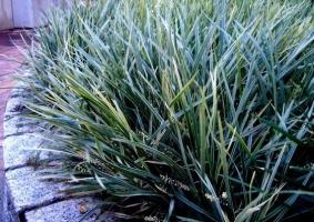 丽蚌草的养殖方法:爱凉爽湿润气候,喜阳也耐阴,忌酷暑