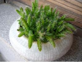 火龙果盆栽怎样种植:盆栽种植火龙果操作步骤详解