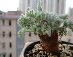 羽叶洋葵的养殖方法:喜全日照、排水性良好的沙质土壤