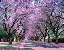 紫薇花什么时候开:紫薇花在6月份开花,全株花期长达4个月