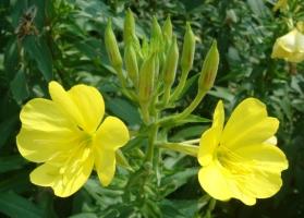 月见草多开花的条件:阳光充足和肥沃、排水良好的土壤