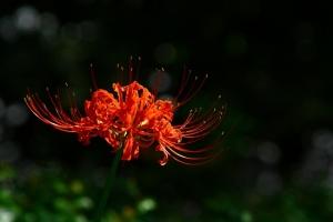 石蒜花有毒吗