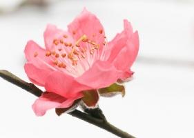 观赏桃花的品种:各品种的介绍图文