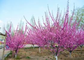 榆叶梅的价格:树干高度越高,冠幅越大价格就越贵