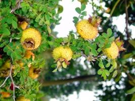 刺梨的副作用:刺梨性凉,脾胃虚寒者或慢性腹泻者慎食