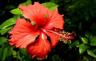 扶桑四季开花所需的条件:光照、温度适宜