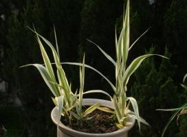 花叶芦竹的价格