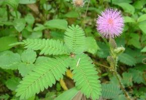 什么是植物的感性运动:指植物体受到外界刺激而引起的局部运动