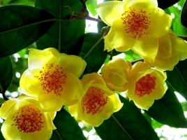 金花茶的价格:野生金花茶干货售价高达数千元到数万元/斤