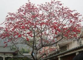 木棉树的价格::木棉树的价格详情及相关资料介绍