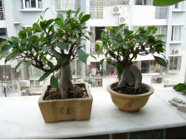 榕树的价格:小盆栽在十几元到上百元不等,盆景价格一般在百元以上