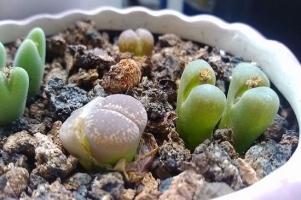 如何给石生花移苗:成年苗一年四季均可移植,播种苗2年内不可移植