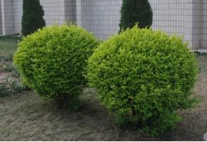 大叶黄杨的价格:根据株高、冠幅、地径的不同而不同