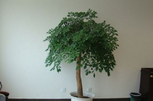 幸福树可以在室内养殖吗