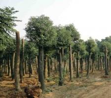 香樟树的价格:苗木的胸径越大,代表树龄越大价格也越高