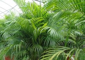 散尾葵有什么作用:改善空气质量、入药等作用