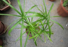 水竹有什么作用