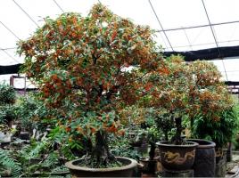 北方的桂花树如何越冬:露栽的要套袋养护,盆栽的直接搬回室内即可