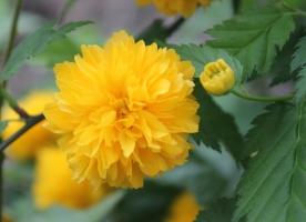 棣棠花要怎样栽培:喜温暖、湿润的气候条件