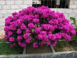 三角梅花期养护要点:开花前期控肥,开花中期控水