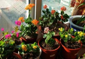 长寿花能在室内养殖吗:可以,不过具体情况要具体看待