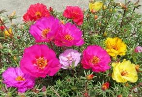 关于死不了花的那些事 :死不了花的介绍、养殖等内容介绍