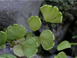 铁线蕨叶子为什么干枯:大多是由光照、水分和通风等原因引起