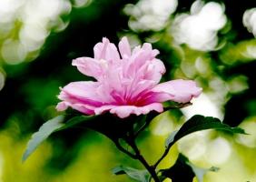木槿花可以吃吗:可以,具有清热利湿等作用