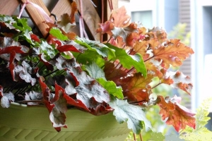 矾根盆栽如何养护:浇水技巧和通风很重要