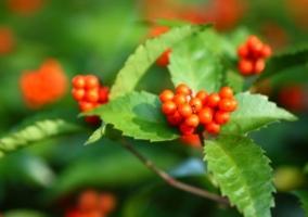 怎样栽培草珊瑚:喜阴凉环境,忌强光直射和高温干燥