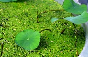 睡莲盆里长绿藻的处理方法:使用药物来杀除绿藻