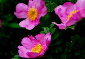 刺梨花的养殖方法:喜温暖湿润、阳光充足环境