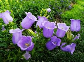 风铃草的栽培方法(心得篇):从育苗到栽培管理的介绍