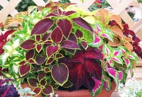 彩叶草的栽培方法:喜温暖、阳光充足环境,忌积水