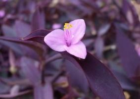 紫鸭跖草的养护方法