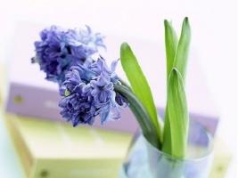 风信子一年只开一次花吗:正常情况下一年只开一次花