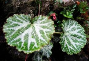 虎耳草的繁殖方法:多用分株法,也可播种