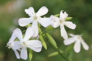 石碱花的养殖方法:喜湿润、阳光充足的环境