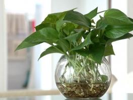 绿萝的作用有哪些:美化环境,净化空气,还能入药