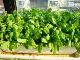 如何在窗台上种植蔬菜:手把手教你在在窗台种菜