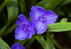 紫露草的日常管理方法