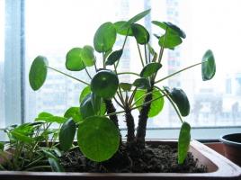 镜面草的栽培方法:喜明亮的散射光、温暖的环境,忌暴晒和积水