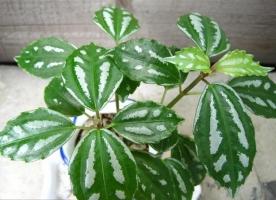怎样养殖冷水花:喜温暖、湿润的环境,忌暴晒