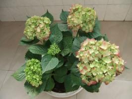 盆栽八仙花的养殖方法:冬季室内盆栽绣球以稍干燥为好