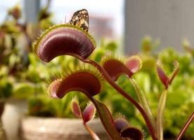 捕蝇草的养殖方法:喜酸性潮湿的基质、良好的光照