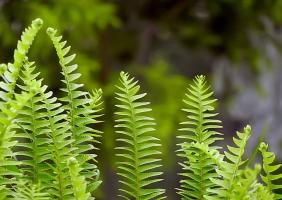 蜈蚣草的养殖方法:喜温暖潮润、半阴环境